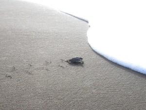 Meeresschildkröte auf dem Weg ins Meer